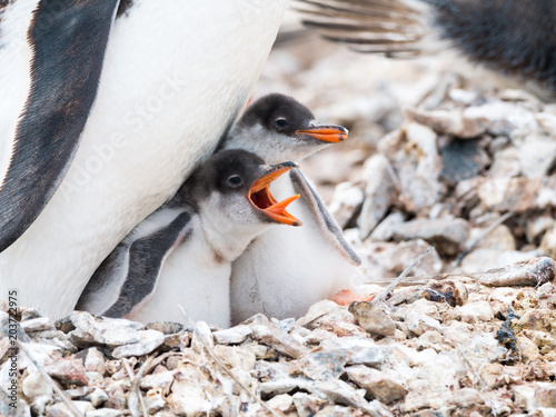 Fotobehang Pinguin Gentoo penguin, Pygoscelis papua, chick begging for food by screaming with open beak, Antarctica