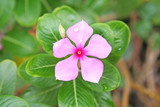 Catharanthus roseus blooming with water drops
