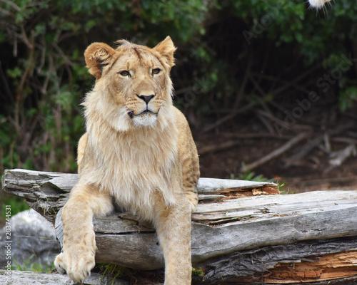 Fotobehang Lion Tiger