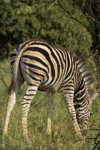 Fototapeta Young Zebra juvenile