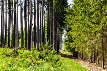 Green forest landscape with trunks of trees covered with a moss in South Bohemia. Czech Republic.