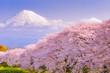 Mountain Fuji in spring season, japan. Cherry blossom Sakura.