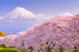 Mountain Fuji in spring season, japan. Cherry blossom Sakura. - 203755317