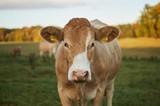 Kuh Portrait Wiese Makro Landwirtschaft - 203757551