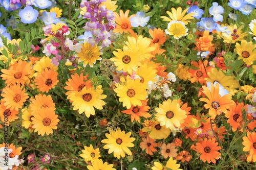 Fotobehang Oranje 那賀川堤の花畑のガーベラ