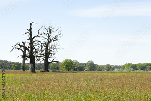 Fotobehang Zomer three old oaks on big wide meadow