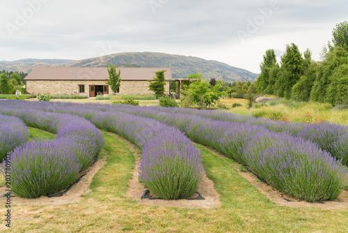 Fotobehang Lavendel Beauty of purple lavender full bloom condition, natural landscape background
