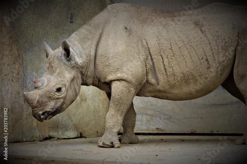 Fotobehang Neushoorn Strong Rhino Standing