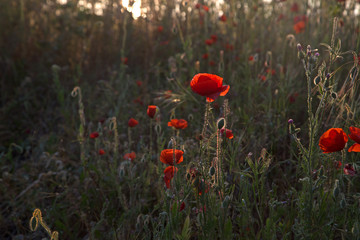 red poppies at the light