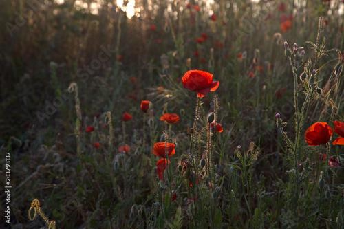 Plexiglas Klaprozen red poppies at the light