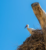 White stork perched in nest