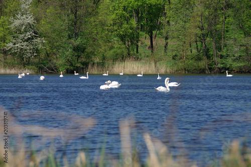 Plexiglas Zwaan White swans on lake
