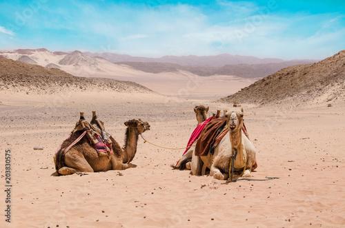 Aluminium Kameel Camel in arabic desert in the summer heat