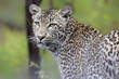 Portrait of a young female leopard in Sabi Sands Private Game Reserve in South Africa
