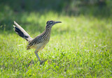 The greater roadrunner (Geococcyx californianus) bird standing in the grass in springtime Texas