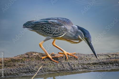 Fototapeta a Striated Heron in the Peruvian Amazon