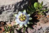 Single Passion Flower