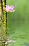 création aquatique zen, bambous et lotus rose