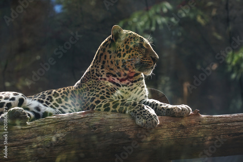 Obraz na płótnie white big leopard