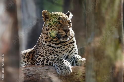 mata magnetyczna white big leopard