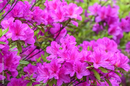 Fotobehang Azalea ツツジの花