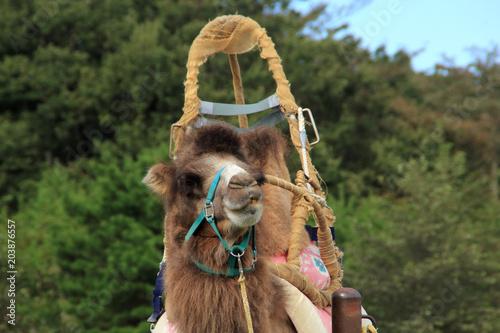 Aluminium Kameel Camel with loading platform   Camellia camelida   Animals (Photography)