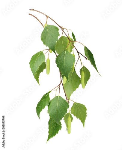 Birch leaves isolated on white background - 203895709