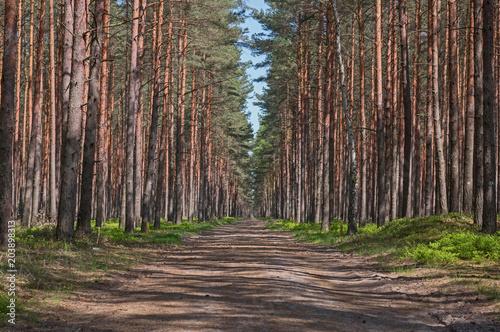 Aluminium Weg in bos Droga przez wysoki, sosnowy las.