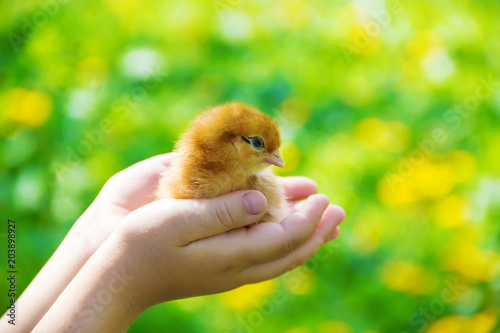 The child holds a chicken in his hands. Selective focus. Poster
