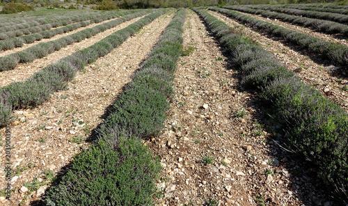 Plexiglas Lavendel champ de lavande