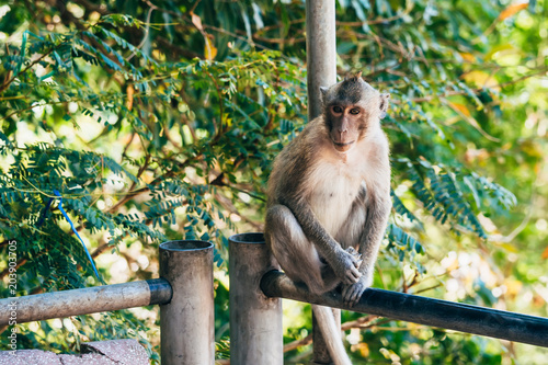 Plexiglas Aap adult monkey sitting in a Park in Asia