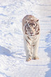 Wild white bengal tiger is walking on white snow.