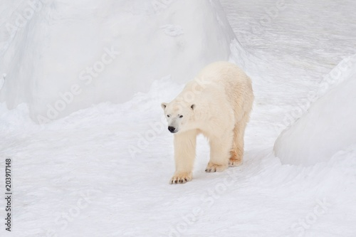 Fotobehang Ijsbeer Large arctic bear is walking on white snow. Animals in wildlife.