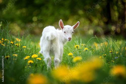 Fototapeta Goat on a pasture