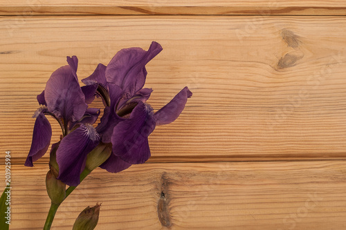 Plexiglas Iris A beautiful purple iris lying on the left side of a wooden textured background. The fresh flower was cut from a home garden.