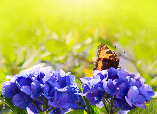 Fototapeta Orange butterfly on purple hydrangea.