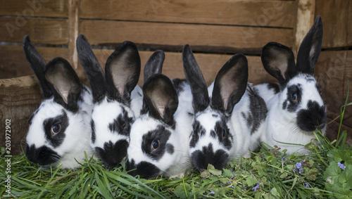 Obraz na płótnie a group cute black and white rabbits with spots
