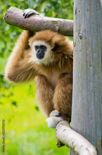 Plexiglas Aap Brown monkey on green grass