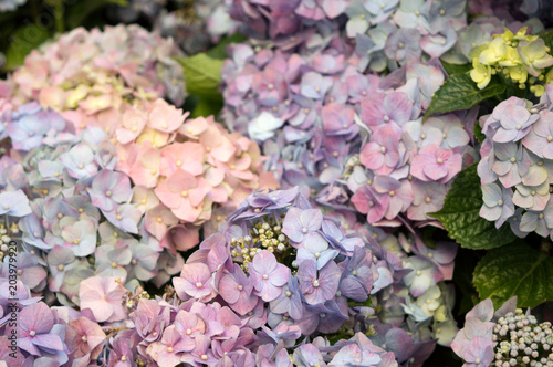 Plexiglas Hydrangea Close up of light lilac hortensia blooming in summer park, amazing garden plant with gorgeous flower heads, tender flower background