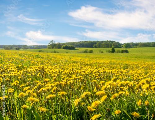 Fotobehang Oranje Field with dandelions and blue sky