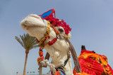 Funny camel with sunglasses dressed in red costume entertaining tourists - 203983591