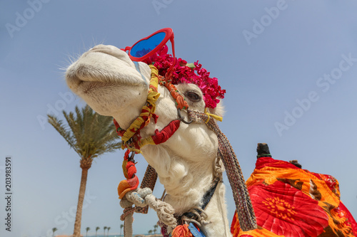 Funny camel with sunglasses dressed in red costume entertaining tourists