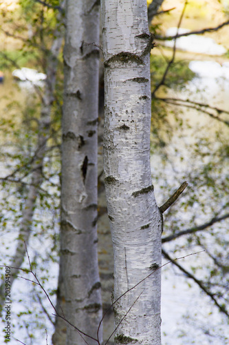 White - silver birch tree; background.