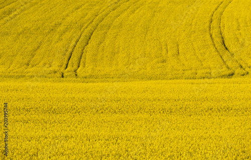 Fotobehang Oranje Full size colza field with tractor lines in the background.