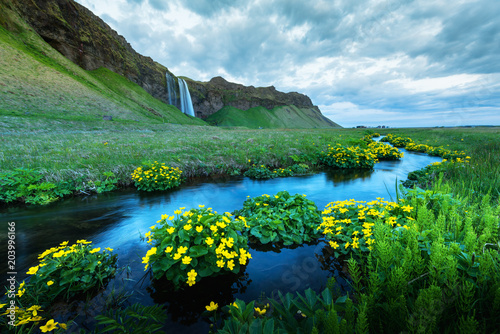 Sunrise on Seljalandfoss waterfall on Seljalandsa river, Iceland, Europe. Yellow flowers around a blue stream