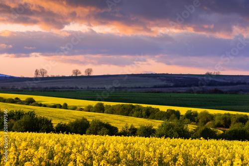 Fotobehang Lavendel Yellow rape field on blue sky background. Landscape photography
