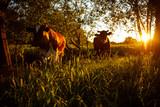 Kühe in der Landschaft - 204007142