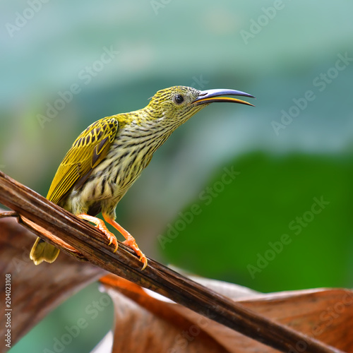 Streaked Spiderhunter Bird Poster