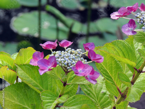 Plexiglas Hydrangea 紫陽花