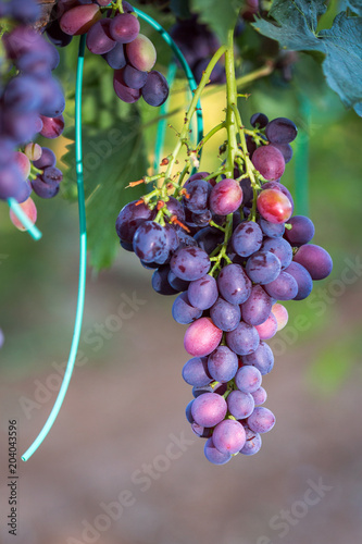 Fotobehang Wijngaard Large bunches of red wine grapes hang from an old vine in warm afternoon light.